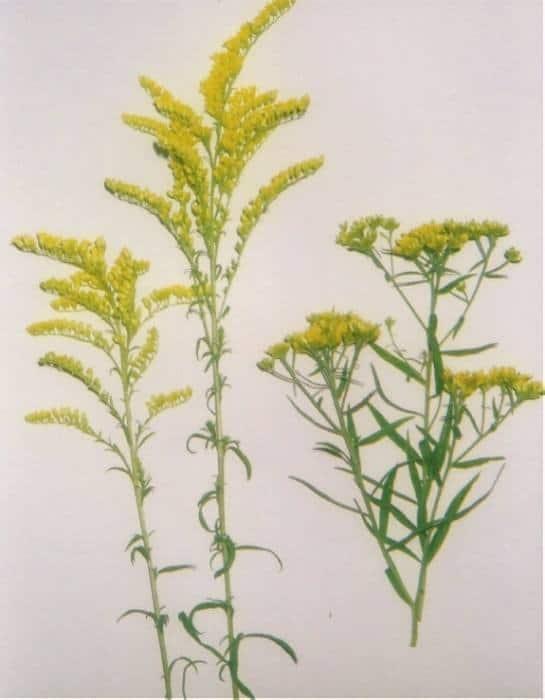 Medicinal Plants Vertiginate Arcticized