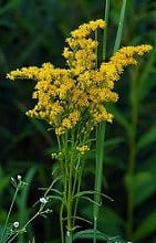 Health Benefits Of Goldenrod